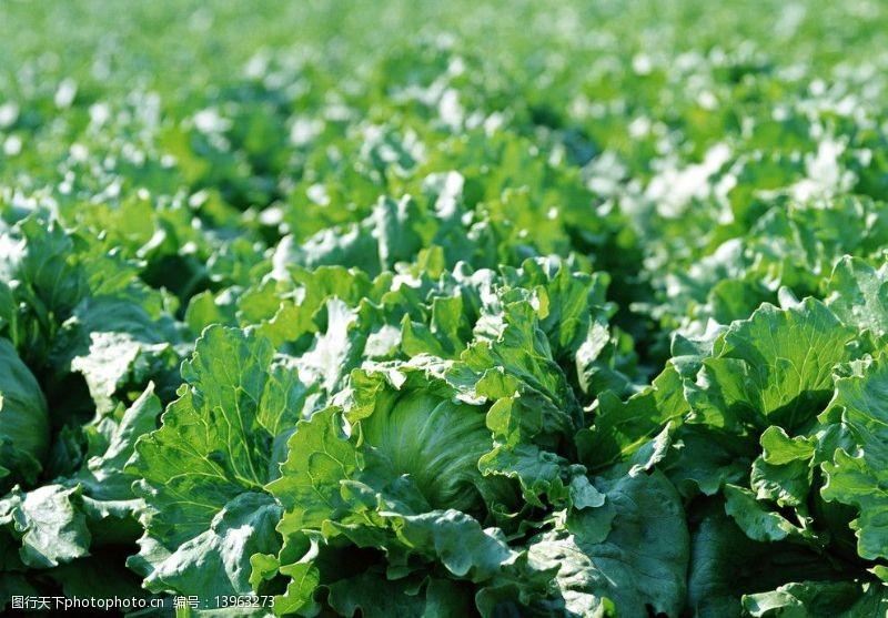 菜球白菜图片