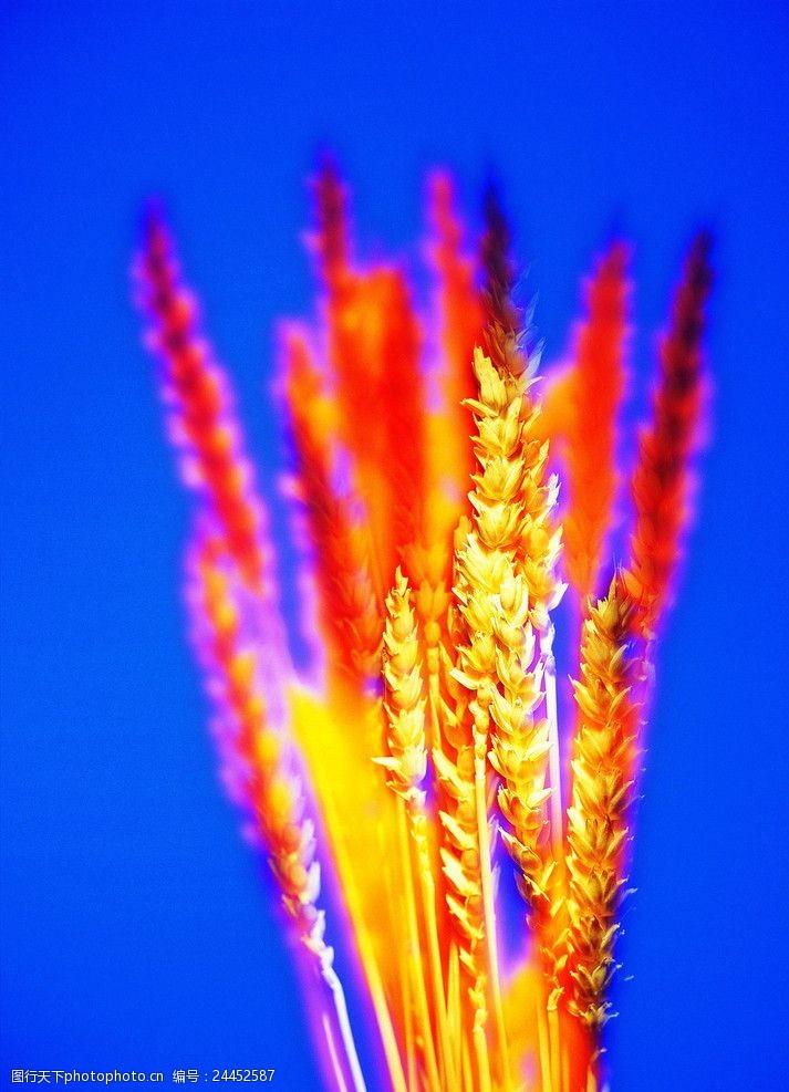 综合创意麦子